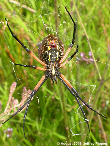writing spider poisonous Descriptions and articles about the yellow garden spider, scientifically known as argiope aurantia in the encyclopedia of life writing spider, or corn spider.