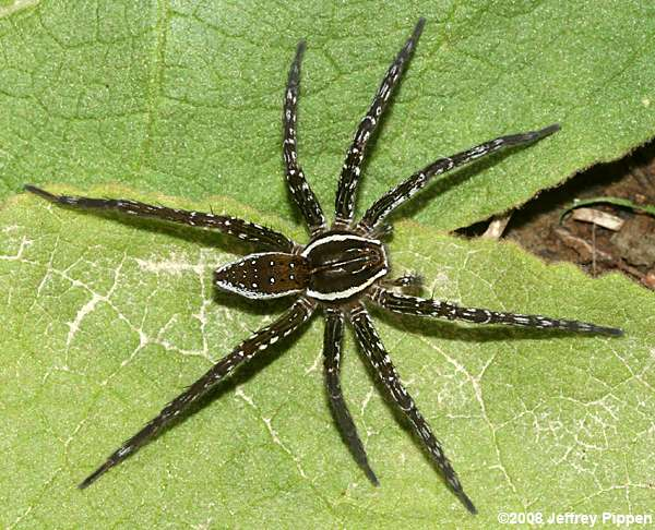 Fishing Spiders Dolomedes