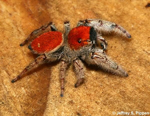 jumping spider phidippus whitmani