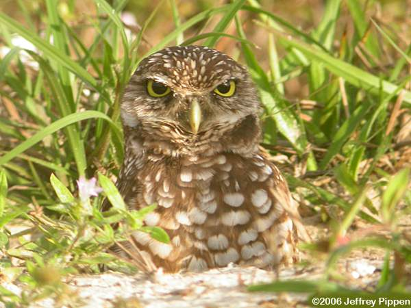 Cute Burrowing Owl