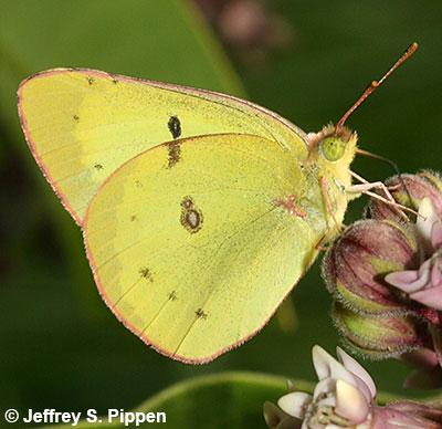 Orange Sulphur — wisconsinbutterflies.org |Clouded Sulphur Butterfly
