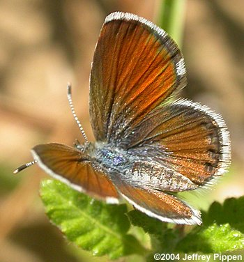 Western pygmy blue butterfly - photo#18