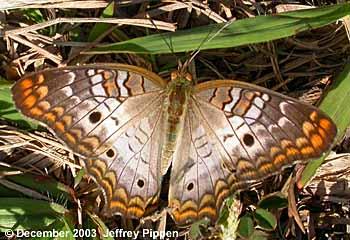castellow hammock preserve miami dade co  fl 29 dec 2003 florida brushfoots  family nymphalidae   rh   jeffpippen