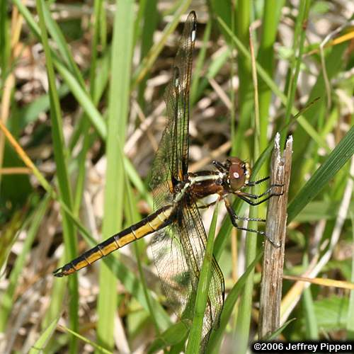 Spangled Skimmer (Libellula cyanea) - photo#48