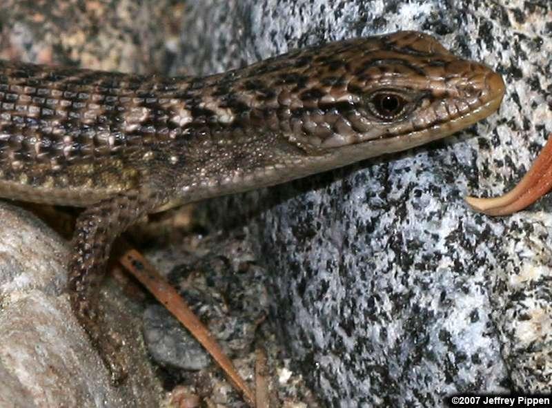 [Image: alligator-lizard070710-9497fresnodomezz.jpg]