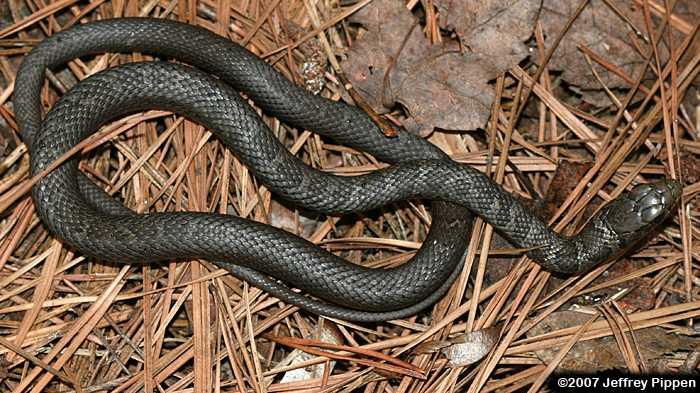 Black Racer Coluber Constrictor