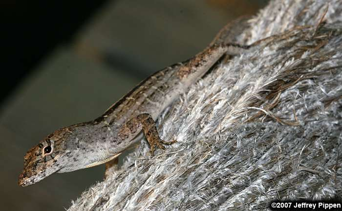 Green anole vs brown anole - photo#28