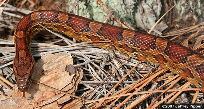 Corn Snake (Elaphe guttata)