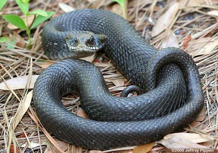 Eastern hognose snake - Wikipedia