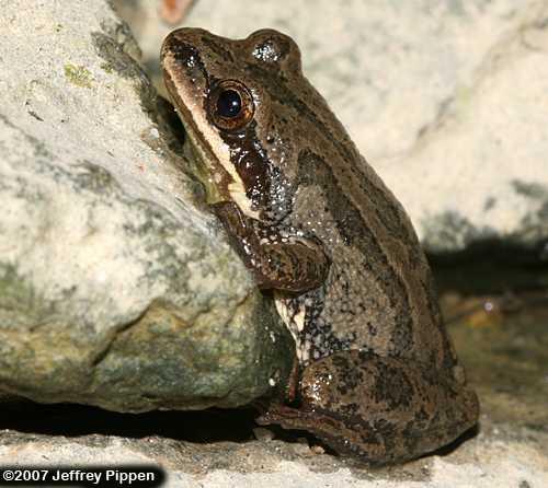 Upland Chorus Frog (Pseudacris feriarum feriarum)