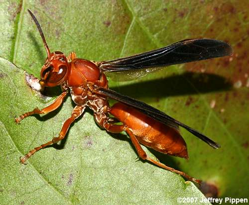 red paper wasp Covering a light source (such as a flashlight), with red paper will help prevent them from flying towards your light natural insecticide spray  how to get rid of wasps naturally.