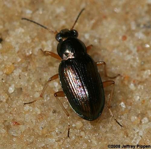 Bembidion ground beetles (Bembidion spp )