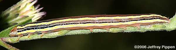 Striped Garden Caterpillar (Trichordestra legitima)