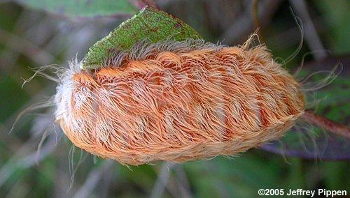 Flannel Moth Caterpillar (Megalopyge sp.)