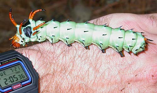 Hickory Horned Devil (Citheronia regalis)