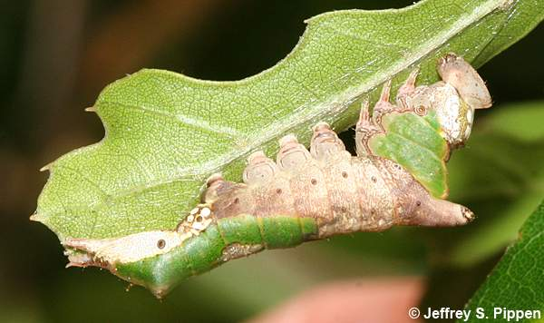 White-streaked Prominent, Lace-capped Caterpillar (Oligocentria lignicolor)
