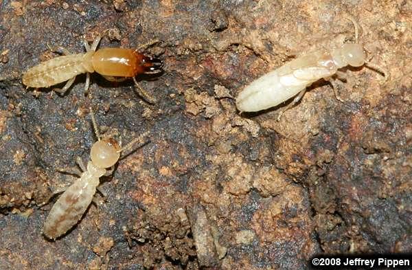 termites isoptera