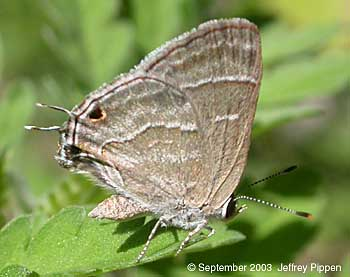 Yojoa Scrub-Hairstreak (Strymon yojoa)