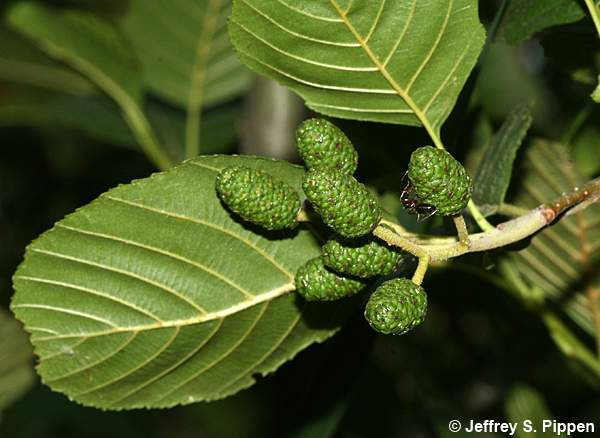 alder black personals Mountain alder (alnus incana) is used to create red, orange, brown, yellow, and black dyes smooth sumac ( rhus glabra ), an important dye plant, with fall colors bloodroot ( sanguinaria canadensis ).