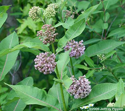 Common milkweed plant - photo#12