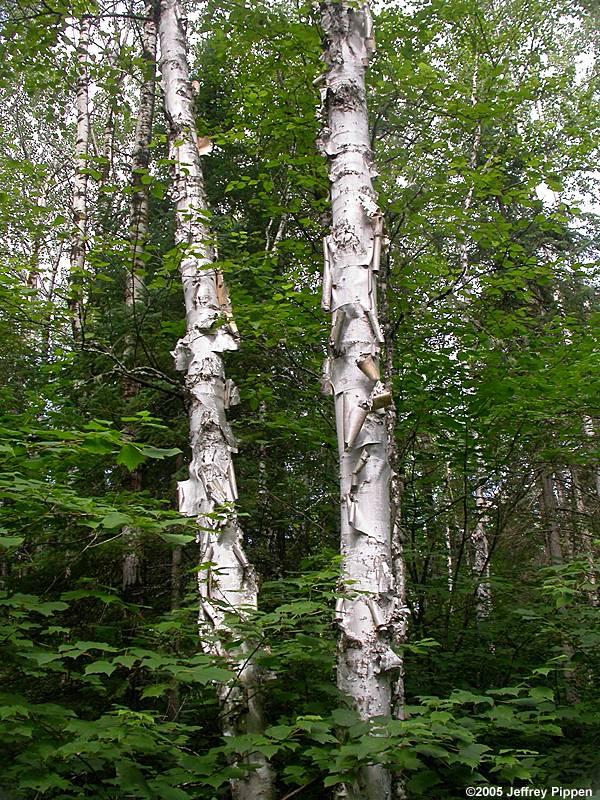 Betulaceae Gt Betula