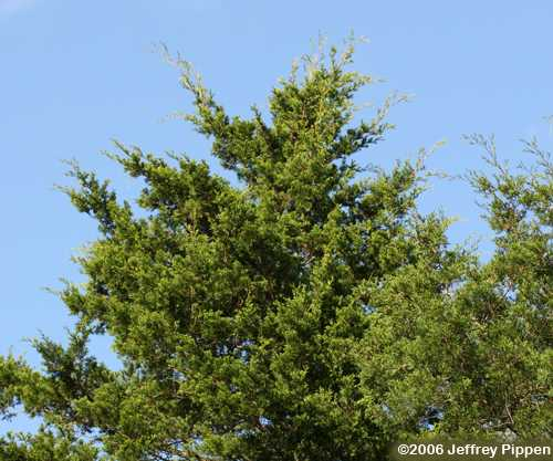 Chamaecyparis white cedar
