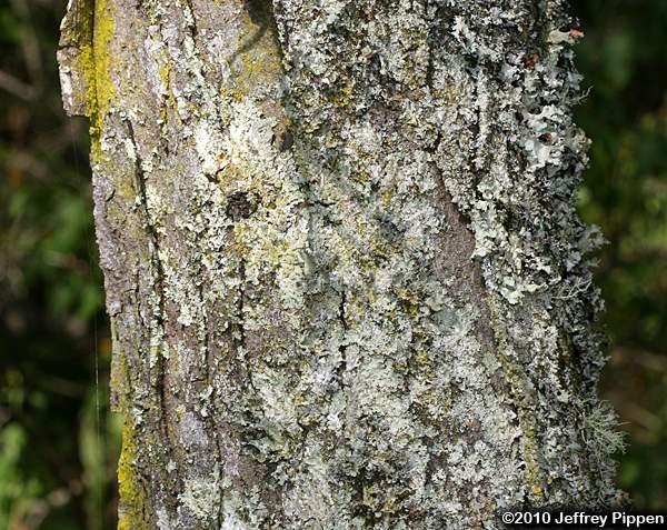 Gleditsia (Locust)