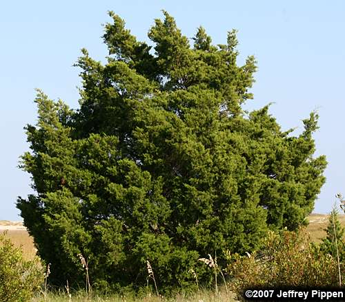 Southern Red Cedar ~ Juniperus red cedar