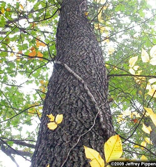 Quercus oak