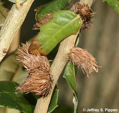 Quercus prinus flower