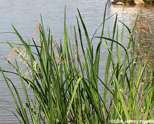 Unidentified plants for Tall grass shrubs