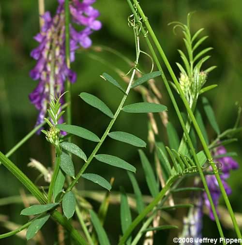 Topic has when to plant hairy vetch
